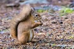 Red Squirrel (georgehart64) Tags: squirrel fauna carniewoods canon canoneosr scotland redsquirrel