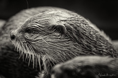 Otter Portrait In Fine Grain (Alfred Grupstra) Tags: brown cute nature animal closeup fur mammal looking wildlife small nopeople whisker otter carnivore animalsinthewild oneanimal younganimal animaleye blackcolor animalnose
