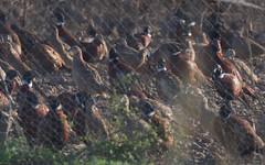 Faisan de colchide - BFIM8769 (6franc6) Tags: occitanie languedoc gard 30 petitecamargue novembre 2019 6franc6 vélo kalkoff vae danger mort chasse mortel promeneur balade forêt garrigue champignon