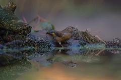 Crossbill - Kreuzschnabel (Claudia Brockmann) Tags: natur nature bird birds vögel vogel wald forest wasser water spiegelung spiegelungen reflections krefelderzoo kreuzschnabel crossbill nikon nikond500 nikon300mmf28