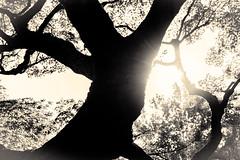 杲 2019 - 1 - 03 (Stéphane Barbery) Tags: akiraka arbre japan japon kyoto momiji soleil 京都 日本 杲