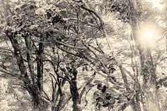 杲 2019 - 1 - 05 (Stéphane Barbery) Tags: akiraka arbre japan japon kyoto momiji soleil 京都 日本 杲