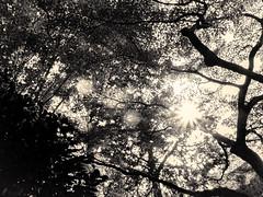 杲 2019 - 1 - 06 (Stéphane Barbery) Tags: akiraka arbre japan japon kyoto momiji soleil 京都 日本 杲