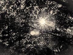 杲 2019 - 1 - 07 (Stéphane Barbery) Tags: akiraka arbre japan japon kyoto momiji soleil 京都 日本 杲