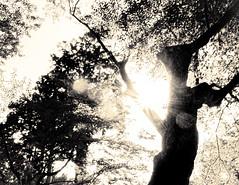 杲 2019 - 1 - 12 (Stéphane Barbery) Tags: akiraka arbre japan japon kyoto momiji soleil 京都 日本 杲