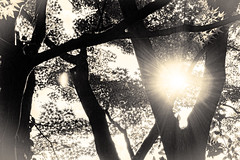 杲 2019 - 1 - 21 (Stéphane Barbery) Tags: akiraka arbre japan japon kyoto momiji soleil 京都 日本 杲