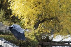 Héron cendré décolle (Nicopope) Tags: héron cendré décollage envol automne nikon d500 oiseau bird birds vogel nature animal herbst herfst fall feuilles jaunes fantasticnature fantastic graureiher