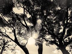 杲 2019 - 1 - 26 (Stéphane Barbery) Tags: akiraka arbre japan japon kyoto momiji soleil 京都 日本 杲