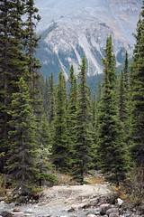 Trees under the Mountain (JB by the Sea) Tags: banff banffnationalpark alberta canada september2019 rockymountains rockies canadianrockies icefieldsparkway highway93 mistayacanyon mistayariver