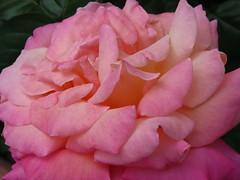 Extraordinary Multi-Petal Pink Rose (Chic Bee) Tags: warmautumn tucson arizona pink rose rosebud colorful colors couleurs colours colores spectacular sensational interesting america northamerica americansouthwest southwesternusa chicsgarden canonpowershotsx70hs weather