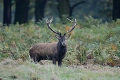 Red Deer stag taken on a wet and dull October day. (Andy bradders) Tags: animal wild countryside greatoutdoors andybradders andybradshaw andrewbradshaw nikon d7100 500mm reddeer deer rutting autumn eastmidlands england uk wood