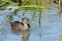 K32P9828c Gadwall, Lackford Lakes, October 2019 (bobchappell55) Tags: anasstrepera lackfordlakes suffolk bird duck gadwall nature water wild wildlife