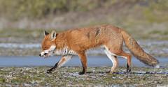 Mr Grumpy (KHR Images) Tags: redfox red fox vulpesvulpes wild mammal winter cambridgeshire fens wildlife nature nikon d500 kevinrobson khrimages