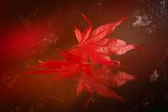 Red autumn 🍂🍁 (Martin Bärtges) Tags: makroliebhaber makrofotografie makro macrolovers macrophotography macro herbstfarben autumn autumncolors herbst naturelovers naturephotography naturliebhaber naturfotografie natur nature spiegelreflexkamera nikonphotography nikonfotografie d4 nikon spiegelung farbtupfer farbenfroh colorful rot red laub blätter foliage leaves reflection