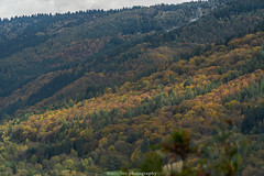 Neckar Valley Forest in Autumn 2019 VI (boettcher.photography) Tags: sashahasha boettcherphotos boettcherphotography germany deutschland herbst autumn fall neckargemünd neckartal neckarvalley neckarsteinach hessen kreisbergstrase landschaft landscape natur nature kurpfalz neckarsteig forest wald badenwürttemberg rheinneckarkreis