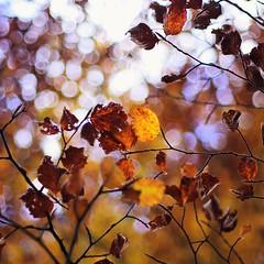 Beech leaves (Stefano Rugolo) Tags: stefanorugolo pentax k5 pentaxk5 smcpentaxm50mmf17 kmount beech leaves bokeh autumn faggeta montisimbrini lazio italy abstract 2016 manualfocuslens manualfocus manual