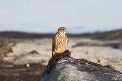 Merlin at Værøy S24A7455 (grebberg) Tags: september 2019 værøy lofoten nordland norway bird merlin dvergfalk falcocolumbarius falcon falco raptor birdofprey