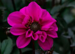 Dahlie  (26) (berndtolksdorf1) Tags: deutschland thüringen garten blume flowers dahlie pink blüte outdoor