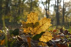 Spiel mit dem Licht (KaAuenwasser) Tags: ahorn blatt laub herbst natur gegenlicht schatten farbe wald baum bäume stimmung herbstlich november 2019 efeu pflanzen boden waldboden