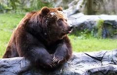 GOOD TIMES (babsbaron ( Bella )) Tags: nature naturfotografie naturephotographie tiere tierfotografie animals animalphotographie säugetiere mammals raubtiere predators bären bears kamtschatka wildpark tierpark animalpark lüneburgerheide canon