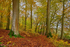 Old beech trees, Grumsin beech forest, Uckermark (Petra Schneider photography) Tags: grumsin beechforest autumn autumncolours automne unescoworldheritagesite uckermark brandenburg brandenburgcounty herbst herbstwald herbstfarben buchenwälder buchenwaldgrumsin november
