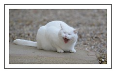 le baillement du chat (Christ.Forest) Tags: chat cats blanc white