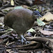 Great Tinamou_Tinamus major_Ascanio_Costa Rica_199A9919