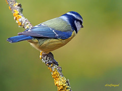 Herrerillo común (Cyanistes caeruleus) (59) (eb3alfmiguel) Tags: aves passeriformes insectívoros paridae herrerillo común cyanistes caeruleus