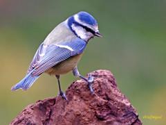 Herrerillo común (Cyanistes caeruleus) (43) (eb3alfmiguel) Tags: aves passeriformes insectívoros paridae herrerillo común cyanistes caeruleus