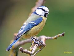 Herrerillo común (Cyanistes caeruleus) (37) (eb3alfmiguel) Tags: aves passeriformes insectívoros paridae herrerillo común cyanistes caeruleus
