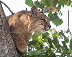 Wildcat in a Cottonwood Tree (dan.weisz) Tags: bobcat wildcat tucson sweetwaterwetlands