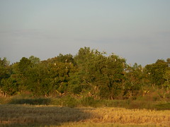 Anastomus oscitans Ciconiidae- Asian Openbill, นกปากห่าง 1 (SierraSunrise) Tags: thailand isaan esarn phonphisai nongkhai birds storks wadingbirds anastomus ciconiidae