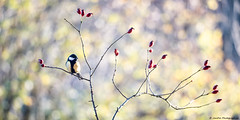 lumière du soir pour charbonnière (JimDel Photographies) Tags: bokeh bird beauty oiseau oiseaux nature naturebeauty naturephoto photo proxyphotography proxy wildlife wildlifephoto wild