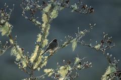 Junco (laszlofromhalifax) Tags: junco bird magnolia tree lichen branch frontyard halifax novascotia canada