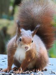 squirrel (gerben more) Tags: squirrel animal rodent netherlands nederland