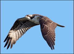 Osprey (Ed Sivon) Tags: america canon nature lasvegas wildlife western wild white southwest desert clarkcounty vegas flickr bird birdofprey henderson us 500mm