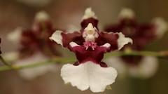 Oncibium Sharry Baby (francepar95) Tags: orchidée plante fleurs floraison parfumée chocolaté tige nature cultivé orchid oncibium