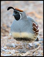 Gamble's Quail (Ed Sivon) Tags: america canon nature lasvegas wildlife western wild southwest desert clarkcounty vegas flickr bird 500mm henderson nevada preserve