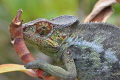 Parson's chameleon - Calumma parsonii (johco266) Tags: kameleon chameleon reptielen reptiles reptiel lézard nature natuur natur lagarto naturaleza nikon caméléon eidechse macro madagascar macrophotography peyrierasreptilereserve coth5
