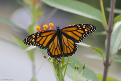 Butterfly 2019-176 (michaelramsdell1967) Tags: butterfly butterflies nature macro animal animals insect insects monarch monarchs green orange black beauty beautiful pretty lovely upclose closeuo meadow wildlife bug bugs vivid vibrant detail delicate fragile garden zen