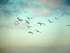Anastomus oscitans Ciconiidae- Asian Openbill, นกปากห่าง 2 (SierraSunrise) Tags: thailand isaan esarn phonphisai nongkhai birds storks wadingbirds anastomus ciconiidae