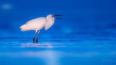 "Reddish Egret ""White morphe"" (Frank Schauf Photography) Tags: animal bird egrettarufescens florida heron nordamerika northamerica reddishegret rötelreiher tier usa whitemorphe"