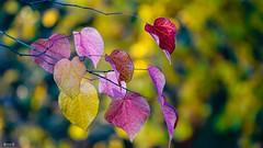 #Autumn - 7721 (✵ΨᗩSᗰIᘉᗴ HᗴᘉS✵85 000 000 THXS) Tags: autumn autumnleaves feuilles leaves automne color couleur colour nature sony sonydscrx10m4 belgium europa aaa namuroise look photo friends be yasminehens interest eu fr party greatphotographers lanamuroise flickering macro bokeh