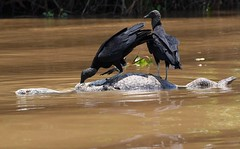 Black Vultures floating on a Caiman Carcass - The Pantanal, Brazil. (One more shot Rog) Tags: caimans caiman crocs croc crocodile carass carrion eats vulture vultures blackvulture pantanal brazil amazon pantanalwildlife wildlife nature scavengers onemoreshotrog rogersargentwildlifephotography wild river river£ float floats