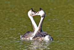 A couple of great crested grebes (takashi muramatsu) Tags: podicepscristatus grebe display love greatcrestedgrebe nagoya japan nikon d850 カンムリカイツブリ