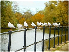 A Dozen Seagulls ... (** Janets Photos **) Tags: uk hull eastyorkshire eastparkhull publicparks nature seagulls