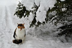 Åsta nov., 2019 (KvikneFoto) Tags: katt cat åsta winter vinter snø snow nikon1j2