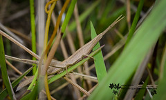 Long-headed Toothpick Grasshopper 1271-2 (Audrey R. Smith (NatureQuest)) Tags: insect arthropod grasshopper florida macro canon