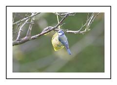 la mésange charbonniére (Christ.Forest) Tags: lamésange oiseau jardin nature charbonniére bleue jaune arbre branches bouledegraisse exterieure envole