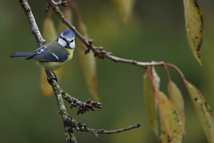 Mésange bleue d'automne (eric.courant) Tags: mésande bleue oiseau oiseaux bird birds tit mayenne jardin photo animalière